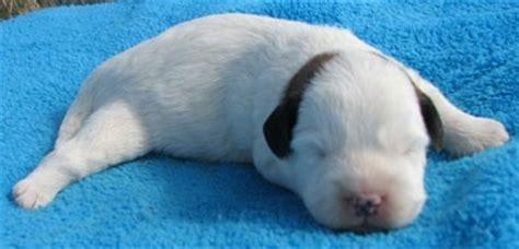 newborn corgi puppies newborn corgipoo hybrid puppy pembrook corgi poodle mix breeds picture