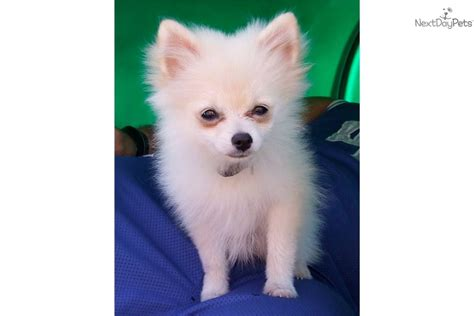 pomeranian puppies for sale in toledo ohio pomeranian for sale for 1 250 near toledo ohio 53554c0f 4021