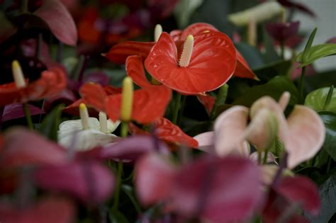 Where Can You Buy An Anthurium Buy Garden Flowers
