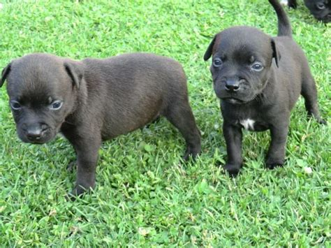 staffy puppies for sale staffordshire bull terrier puppies for sale
