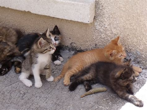 Aegean Cat Info, Personality, Grooming, Kittens, Diet