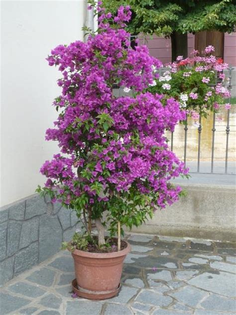 potatura bouganville in vaso giardinaggio bouganville in vaso