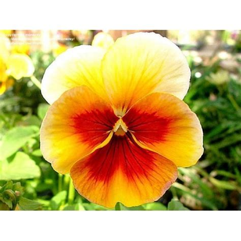 Bibit Bunga Cosmoas Lovely Pink bibit bunga pansy ultima bronze