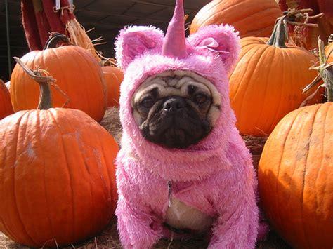 pug starbucks costume pugs dressed as things pugs vs costumes