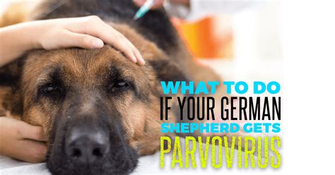 parvo symptoms in dogs how to battle potentially fatal parvovirus in your german shepherd