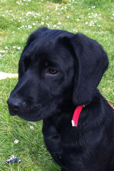 small lab small black labrador for stud swanley kent pets4homes