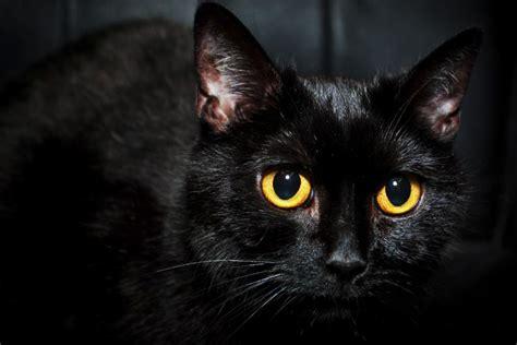 imagenes en negro de gatos por qu 233 los gatos negros traen mala suerte seg 250 n la