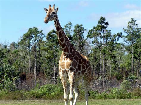 image libre girafe giraffa camelopardalis