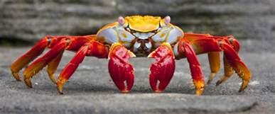 colorful crab ecuador the galapagos islands zicasso