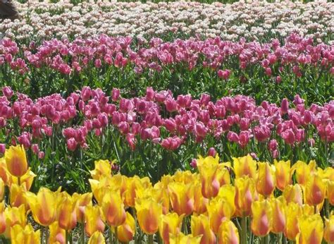 Veldheer Tulip Gardens by Top 30 Things To Do In Mi Attractions