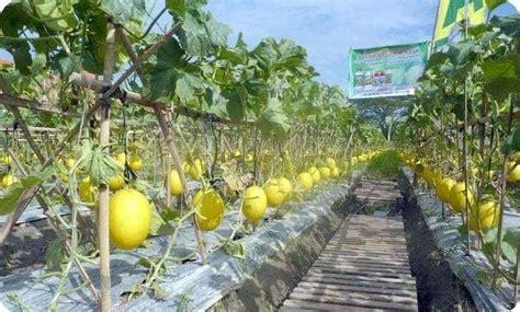 menanam melon  benar bibit