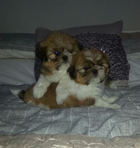 shih tzu puppies for sale glasgow precious shih tzu puppies 1 left now glasgow lanarkshire pets4homes