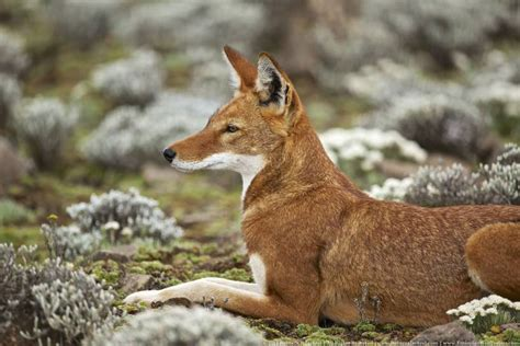 are dogs endangered dogs are going extinct 8 most endangered canid species treehugger