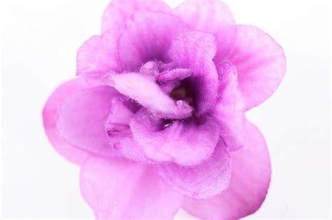 o bianco fiore sfondo bianco gemma petalo di fiore viola scaricare