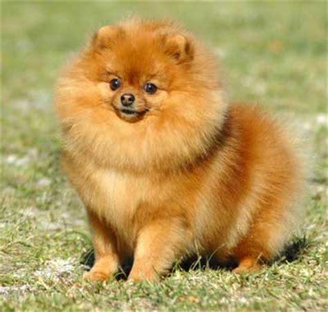 pomeranian shoo dogsite home page