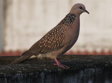 wat doesa brid dove look like doves wikiquote