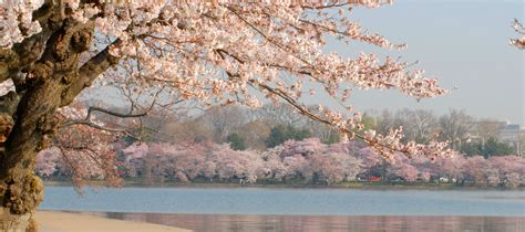 cherry blossom facts history of cherry blossom trees in washington dc