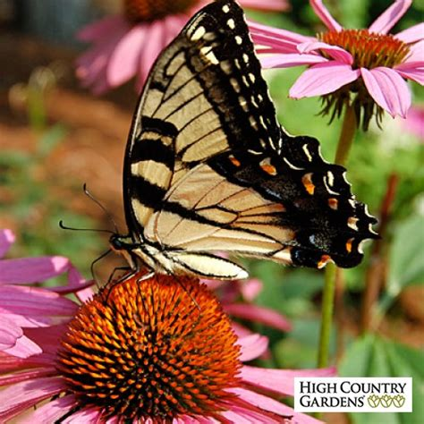 Butterfly Garden Seeds by Butterfly And Hummingbird Wildflower Seed Mix Low Water