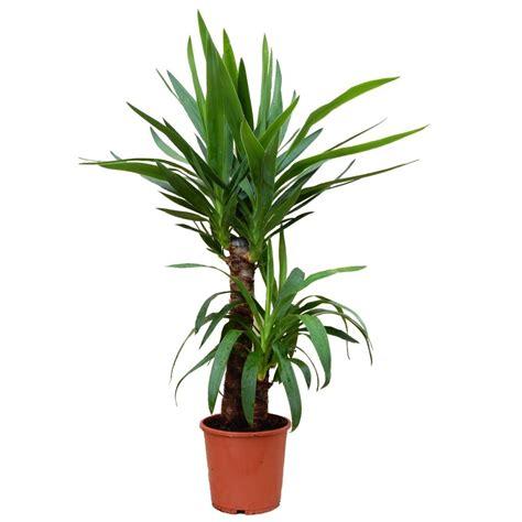 yucca 2 cannes plantes et jardins