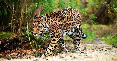imagenes jaguares selva jaguar todo sobre el animal salvaje h 225 bitat y