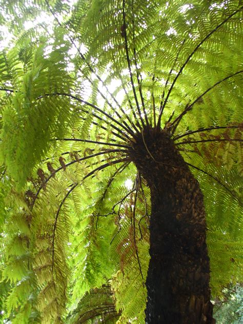 tree fern ferns and pictures images on pinterest