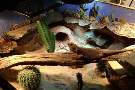 Bearded Tank Decor by 17 Best Images About Desert Terrarium Inspiration On