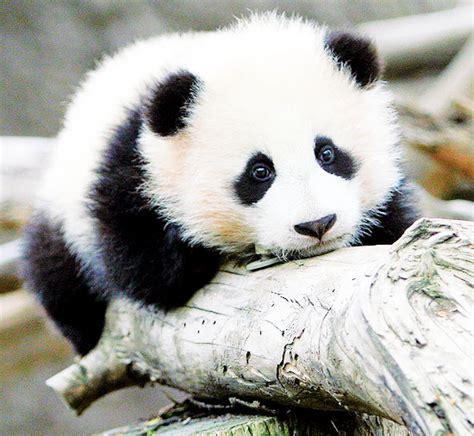 libro panda bear panda bear panda bears here are some amazingly cute baby panda videos that are sure to put a panda
