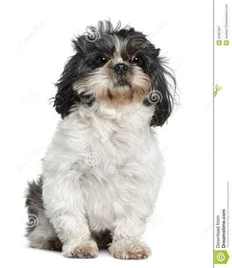7 year shih tzu shih tzu 7 years sitting in front of white royalty free stock photography