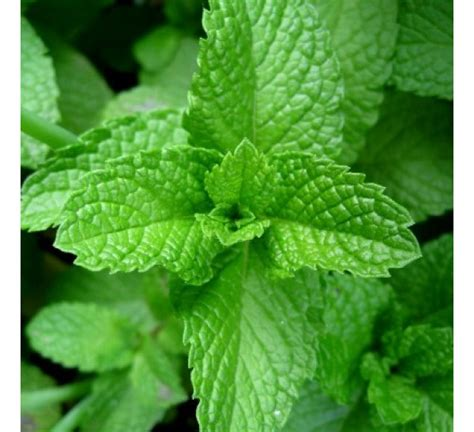 where to buy herb plants buy peper mint plant online at cheap price india s