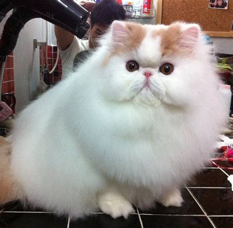 fluffiest pomeranian 27 of the fluffiest animals on the planet warning may cause need for