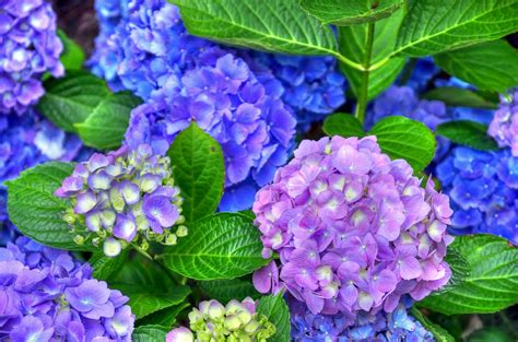 wallpaper flower hydrangea hydrangea flowers hd wallpapers