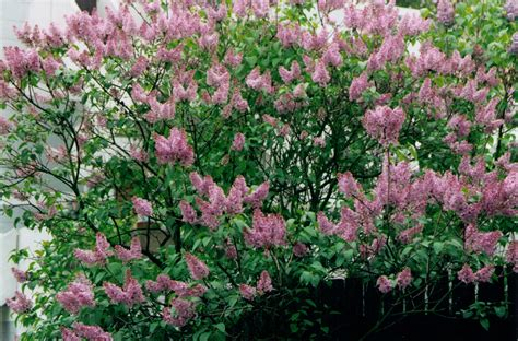 lilacs bush gardens i have known aussie in france