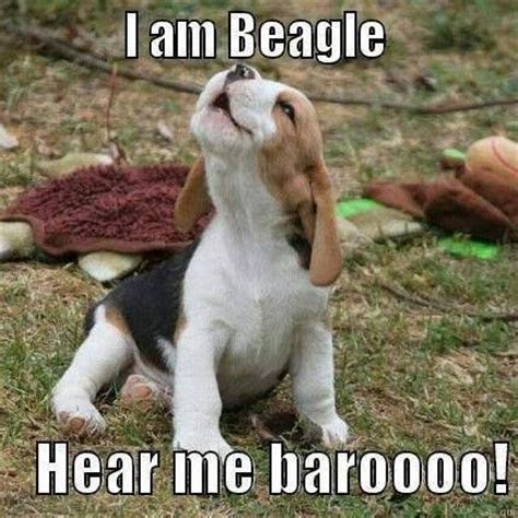 Beagle Meme - quot and baroooo i doooooo quot funny memes pinterest