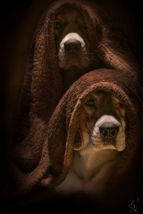 Album Animal Kaiser By B Toys 251 best beagling beagles images on beagle