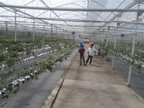 Tanaman Blueberry Sudah Berbuah menanam blueberry blackberry ghooseberry strawberry di indonesia berbagi tak pernah rugi