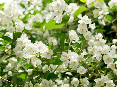 grow  care  jasmine lovethegarden
