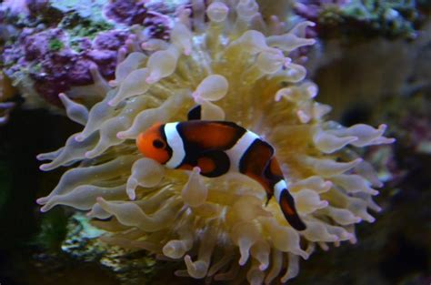 Clownfish or Amphiprioninae | Things that are Orange ...