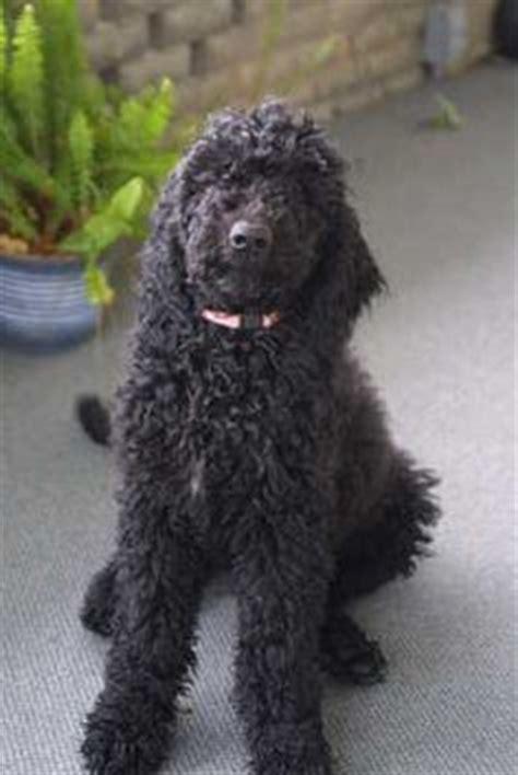 black goldendoodle puppy coat types of goldendoodles black goldendoodle dogs goldendoodle puppies
