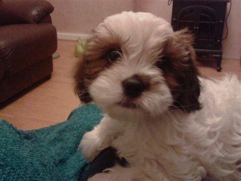 cavalier king charles x shih tzu puppies for sale shih tzu x cavalier king charles bradford west pets4homes
