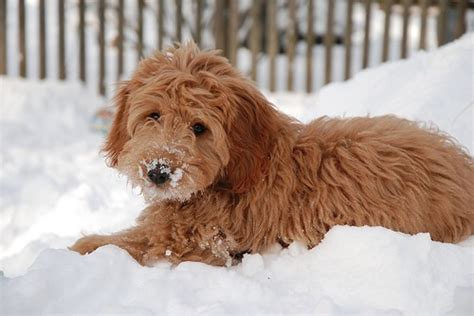 dogs with doodle in name 10 best goldendoodle names