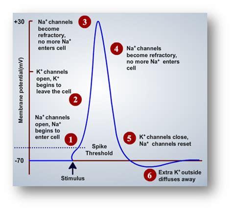 action potential nerve impulse
