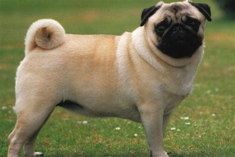 Do Pugs Shed A Lot Of Hair by Pug For Apartment But Sheds A Ton Does Not