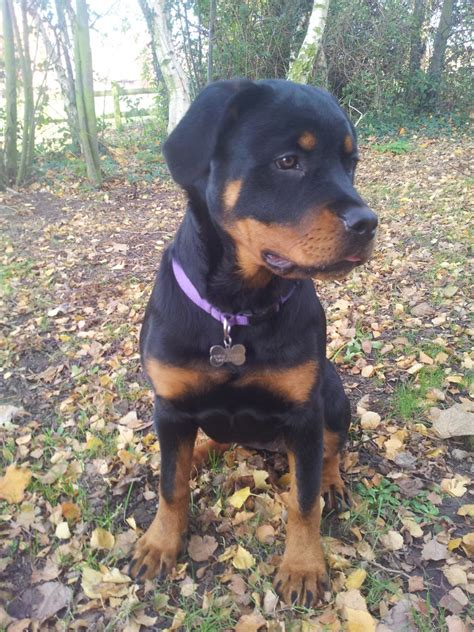 6 month puppy 6 month chunky rottweiler puppy southend on sea essex pets4homes