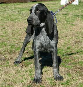 17 best ideas about bluetick coonhound on pinterest hound dog hound dog breeds and hound dog