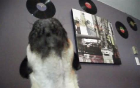 howling pug this pug hears family member s names how he reacts my s melting