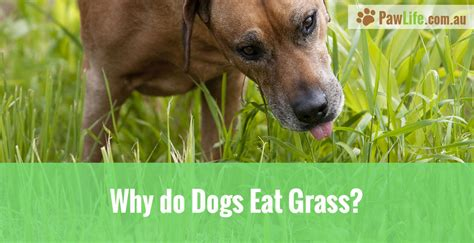 why do puppies your why do dogs eat grass paw