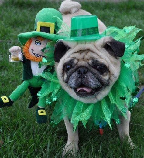 puddin the pug community happy st s day from puddin the pug