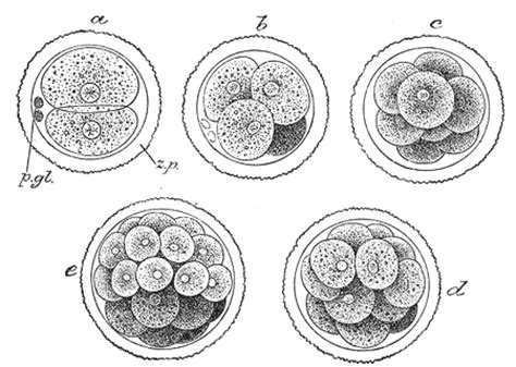 embryogenesis pattern formation from a single cell embryogenesis wikipedia