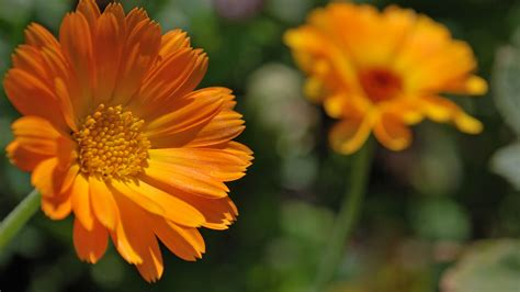calendula fiori calendula gli usi e le propriet 224 della pianta