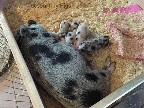 eb juliana piglet aka pigachu tucson tiny pigs